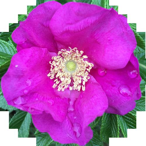 Pinke Blume zur Pflanzentherapie in der Praxis für Naturheilkunde Groterhorst